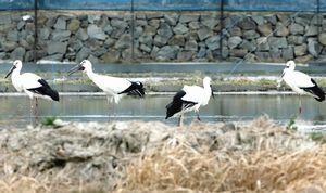 レンコン畑で羽を休める4羽のコウノトリ。両端が新たに飛来した2羽=鳴門市大津町