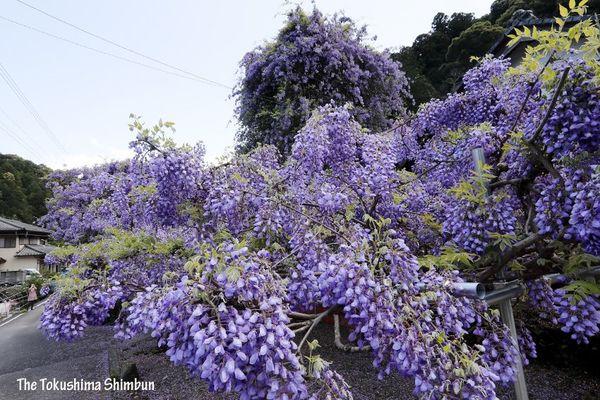 青空に向かって高く伸びた「のぼり藤」=神山町鬼籠野の神光寺