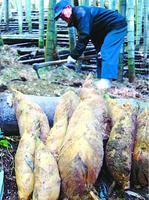 収穫が本格化している早掘りタケノコ=阿南市福井町吉谷