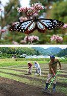 「アサギマダラ」牟岐に舞え 香り好むフジバカマ植栽