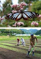 【上】アサギマダラ【下】フジバカマを植える畑を整備する住民グループのメンバー=牟岐町橘