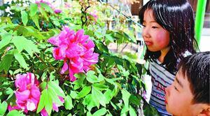 見頃を迎えたボタンの花=鳴門市里浦町の観音寺