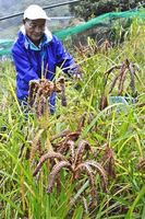 シコクビエを収穫する祖谷雑穀生産組合の釆本さん=三好市東祖谷小川
