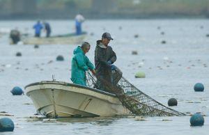 スジアオノリの網入れ作業に追われる漁師=徳島市の吉野川河口