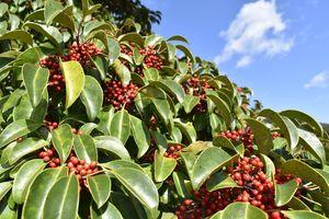 緑の葉に赤い実が映え、クリスマスカラーになった県指定天然記念物のクロガネモチ=阿波市市場町尾開