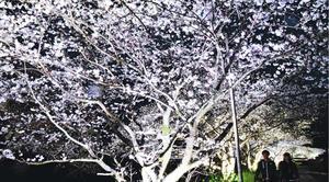 ライトアップが行われている生名谷川沿いの桜並木=勝浦町生名