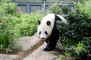 ジャイアントパンダの雄リーリー=7月、東京・上野動物園(東京動物園協会提供)