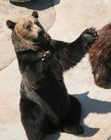 餌やりの際、おねだりのポーズをするエゾヒグマの勝=2010年4月、とくしま動物園