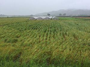 台風10号の強風で倒れた稲= 15日午前9時15分、阿波市土成町