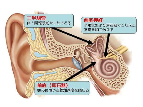 内耳の仕組みと働き