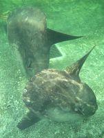釣り堀の中を遊泳するマンボウ=徳島市東沖洲の「徳島新鮮なっとく市」