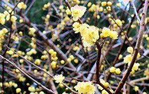 甘い香りを漂わせて咲くロウバイの花=神山町上分の神通蝋梅園