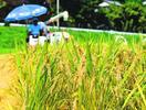 牟岐で収穫始まり早場米が黄金の実り