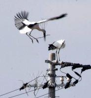 拠点とする電柱に巣材を運ぶコウノトリ=21日午前11時10分ごろ、鳴門市大麻町