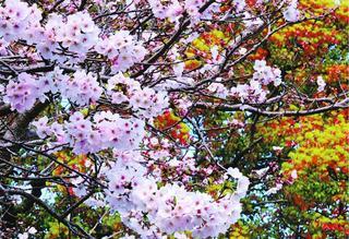 春もみじと共演 徳島・鳴門市の宇志比古神社や東林院参道