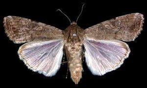 ツマジロクサヨトウの成虫の雌(農水省植物防疫所提供)