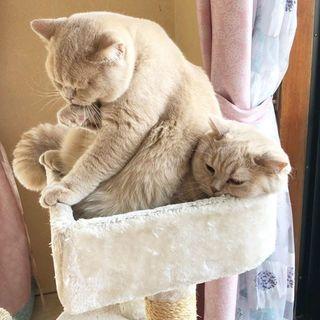 姉弟猫のみかん&ぽてとのじゃれあいが止まらない…子猫のてんぷら加入でモフモフが増量中