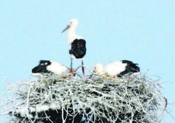 巣の上で親鳥を待つひな。雄1羽、雌2羽と判明した=鳴門市大麻町
