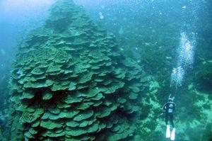 「千年サンゴと活きるまちづくり協議会」が保全に努めている千年サンゴ=2011年、牟岐大島(同協議会提供)
