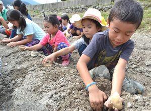 ジャガイモの植え付けを体験する児童=阿波市阿波町北岡