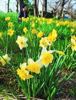 かれんな花を咲かせたスイセン=吉野川市鴨島町知恵島の江川沿い
