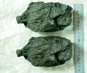 県立博物館が作った化石のレプリカ(上)と実物
