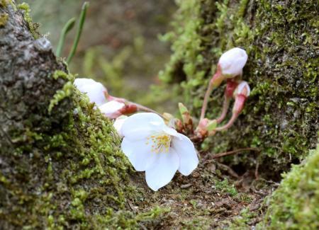 「サクラ観測員」が開花を確認した丸山公園の桜=18日午後、愛媛県宇和島市