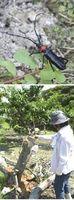 【上】板野町で見つかった外来病害虫のクビアカツヤカミキリ【下】クビアカツヤカミキリの幼虫に食い荒らされて枯死したため、伐採されたモモの木=板野町のモモ農園