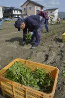 藍の苗元気に育て 徳島・上板で定植始まる