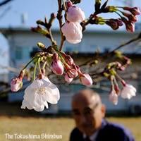 開花した標本木の桜=徳島市の徳島地方気象台