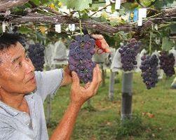 たわわに実ったブドウを丁寧に収穫する農家=阿波市土成町宮川内