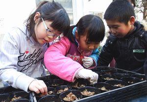 サギソウの球根をポットに植え付ける児童=三好市池田町の三縄小学校