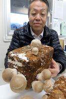 菌床で試験栽培した球体のシイタケ=徳島市上八万町樋口のJA徳島市椎茸パックセンター