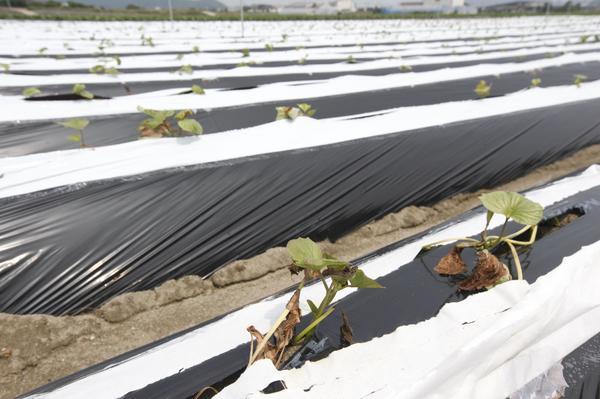 梅雨入りが遅れ、雨不足で枯れ始めたサツマイモの苗=6月20日、鳴門市里浦町