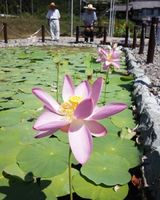 親水公園で開花した「大賀ハス」=板野町那東