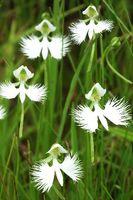 羽を広げたシラサギのように、かれんな花を咲かせたサギソウ=三好市池田町漆川の黒沢湿原