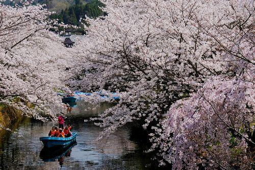 満開の桜が川面を覆う生名の桜並木=2018年3月29日、勝浦町