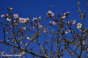 淡いピンクの花が咲き始めたカンザクラ=18日10時半ごろ、徳島市の両国橋東公園