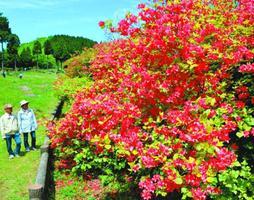 新緑の山を彩るオンツツジ=吉野川市山川町奥野井の船窪つつじ公園