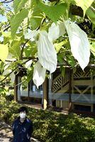 見頃を迎えているハンカチノキ=那賀町横石の相生森林美術館前