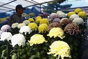 地元住民が育てた色とりどりの花が並ぶ菊花展=つるぎ町貞光太田西の萬福寺