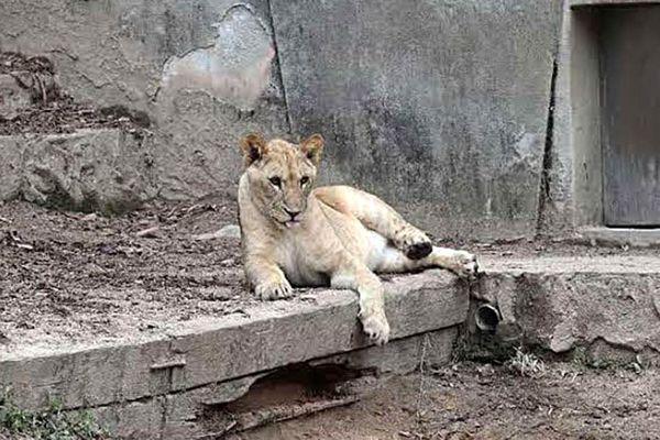 とくしま動物園に仲間入りする雌ライオン「ムーン」=広島市阿佐動物公園(とくしま動物園提供)