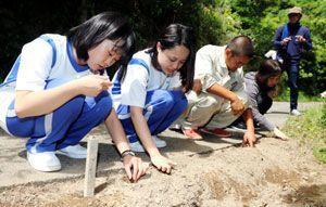 イシマササユリの球根を移植する新野高、阿南工高の生徒ら=阿南市の伊島