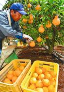 「不知火」品質上々 阿波市で収穫最盛期