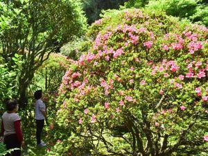ピンクの花を付けたサツキ=つるぎ町貞光の東福寺