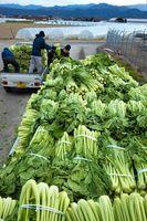 トラックの荷台に山積みされた野沢菜=石井町藍畑