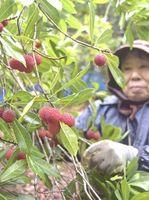 収穫が最盛期を迎えたヤマモモ=小松島市櫛渕町湯谷