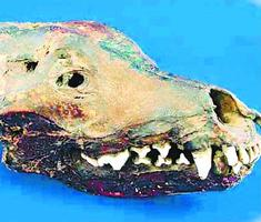 過去に美馬市で見つかったオオカミとされる頭骨(県立博物館提供)