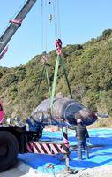 陸揚げされたマッコウクジラ=阿南市中林町