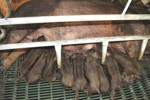 県畜産研究課が育てている阿波とん豚の子豚=上板町の同課飼育場